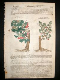 Gerards Herbal 1633 Hand Col Botanical Print. Hawthorn Tree, Goats Thorne